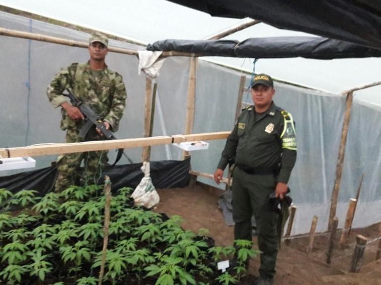 Incautan cultivo de marihuana en vereda de Abejorral