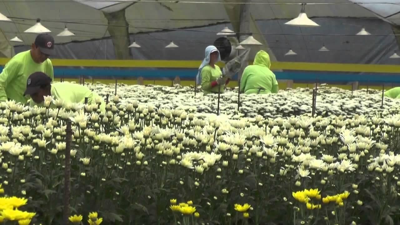 Ofertan cerca de 200 vacantes en cultivos de flores en La Ceja