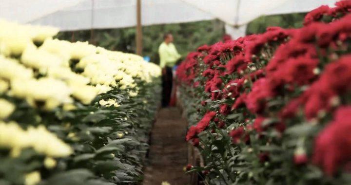 Paciente positivo por Covid labora en un cultivo de flores