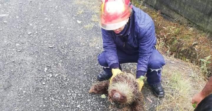 Socorristas rescatan dos osos perezosos en la vía La Unión. Uno perdió la vida