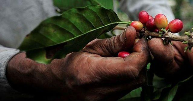 Abejorral será el primer municipio del país donde producir café estará exento del impuesto de Industria y Comercio