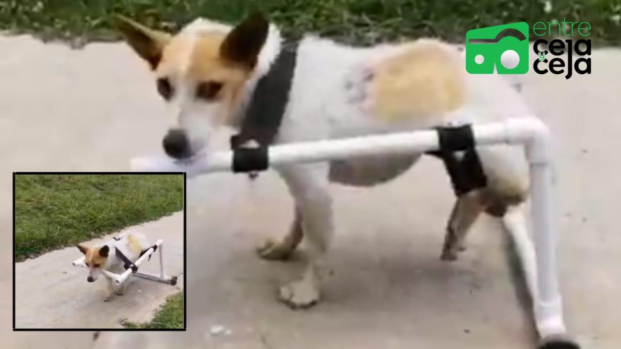 Rionegro: Perro que fue abandonado con lesiones en su columna, le construyeron caminador de PVC con ruedas.