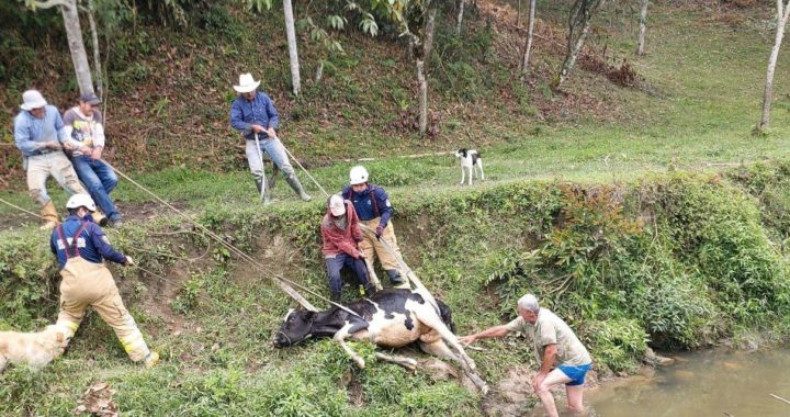 Rescataron vaca que había caído a Quebrada Cimarronas en Ríonegro.
