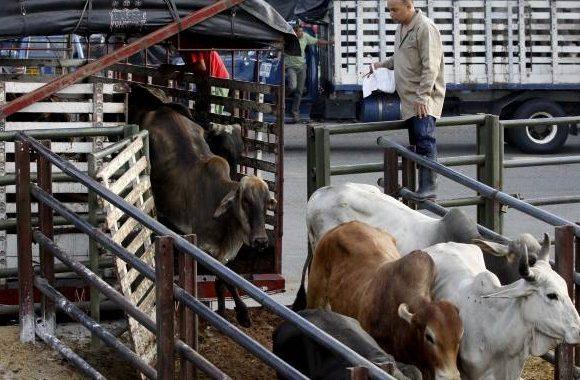 La Ceja: Subastas virtuales y reconocimiento facial de bovinos, dos novedades que tendrá Feria Ganadera.