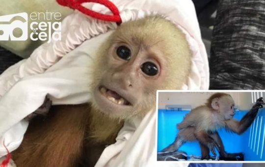 En La Unión Policía rescató a un Mono Cariblanco en estado de desnutrición.