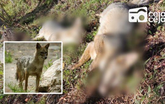 Triste pérdida para el ecosistema: En San Vicente encontraron 5 «zorros perros» muertos.