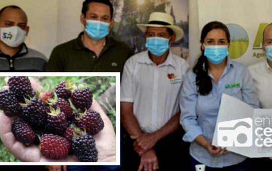 56 familias de La Ceja le apostarán al negocio de la mora.