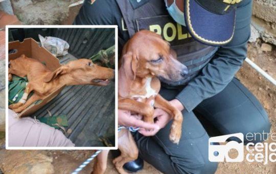 ¡Que crueldad! Perrito permanencia atado a un palo, sin agua y sin comida.