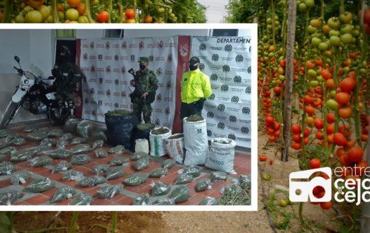 En Sonsón delincuentes utilizaban cultivos de tomate como fachada para cultivar Marihuana