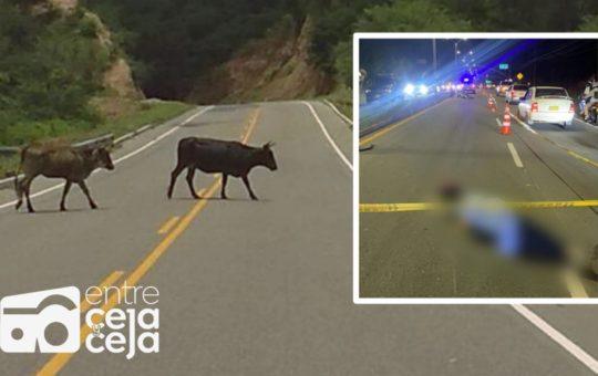 Motociclista marinillo murió tras chocar contra una vaca.